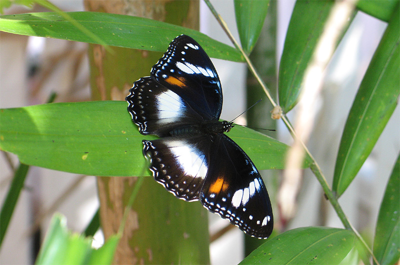 This is a close up of the varied eggfly butterfly for Garden animals